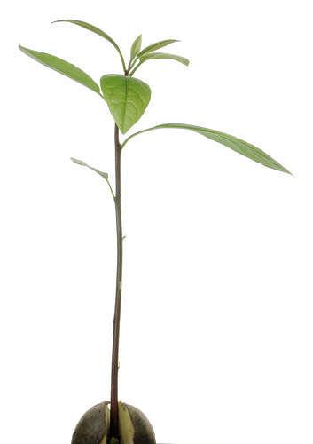 12-mlade-avokado