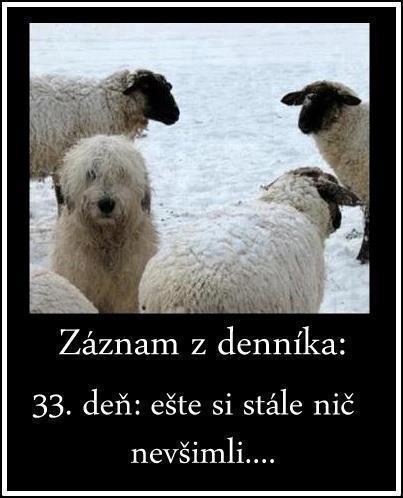 chlupaty_pes_mezi_ovcemi