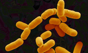 Lactobacillus rhamnosus (http://bacmap.wishartlab.com/organisms/960)