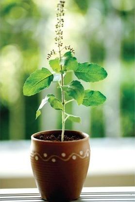 Growing-Tulsi-2