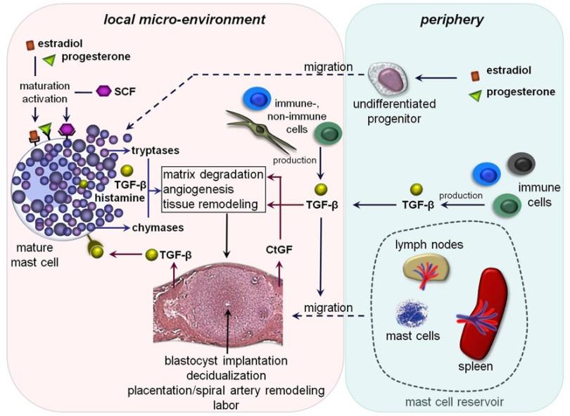 Žírné buňky a histamin hrají roli v mnoha pochodech. Zdroj: journal.frontiersin.org