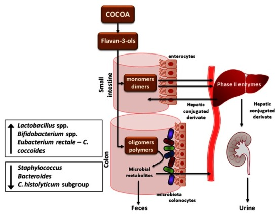 Zdroj: Pérez-Cano, Massot-Cladera, Franch, Castellote and Castell.The effects of cocoa on the immune system, Front Pharmacol. 2013; 4: 71.